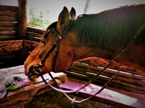 Wallach Pferd