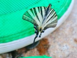 Seltener Schmetterling, der diese Turnschuhe liebt!