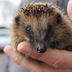 hedgehog-1292593_960_720