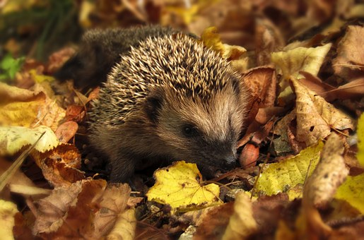 hedgehog-985315__340.jpg
